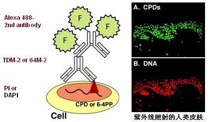 抗环丁基嘧啶二聚体(CPDs)[克隆:TDM2]