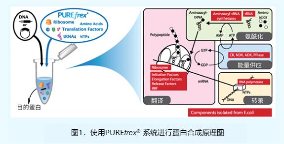 重组无细胞蛋白合成系统