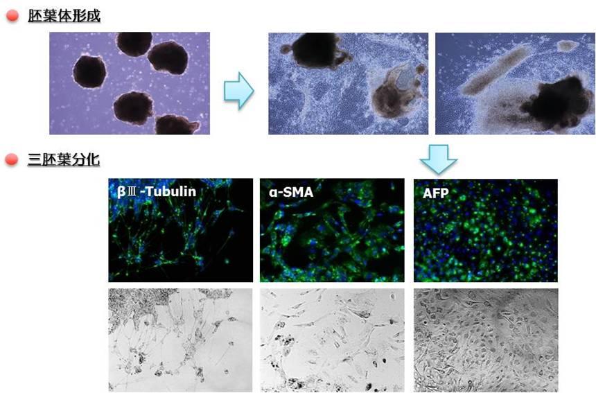 人多能性干细胞无血清培养基
