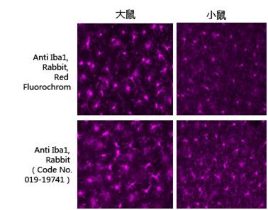 兔源Iba1抗体,有标签