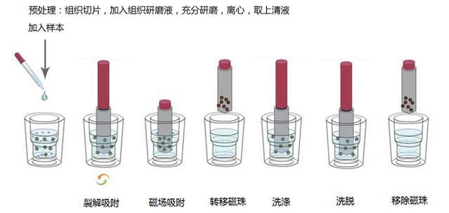磁珠法组织RNA提取试剂盒|磁珠|上海金畔生物科技有限公司